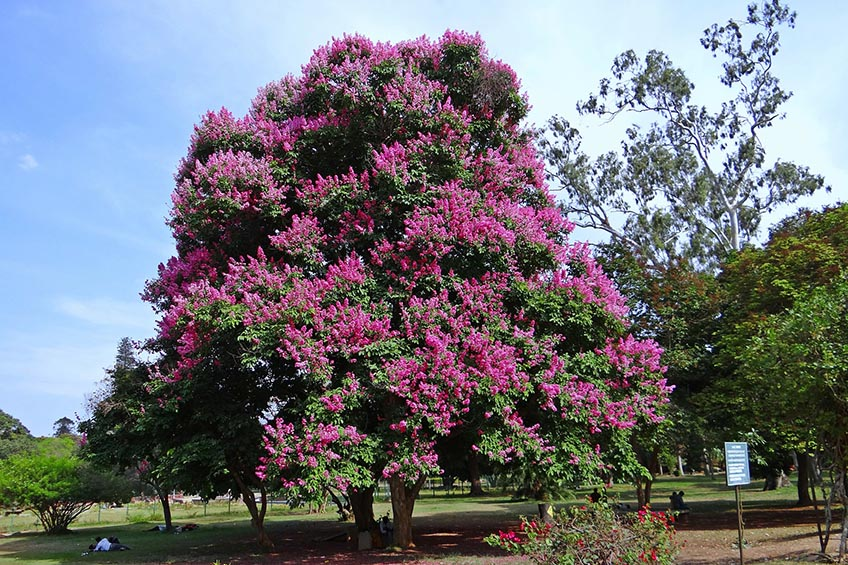 Best shade trees choosing the best shade trees for your yard for Trees for small yards