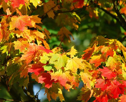Maple Tree on the list of Best Shade Trees