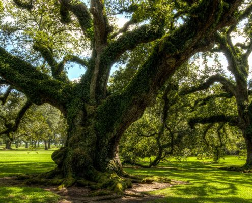Oak Tree on the list of Best Shade Trees
