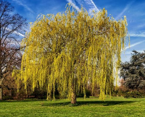 Weeping Willow on the list of Best Shade Trees