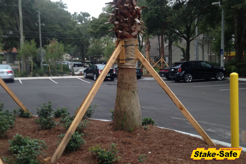 Properly Secure A Newly Planted Palm Tree