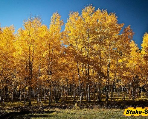 Alaska Trees | Quaking Aspen