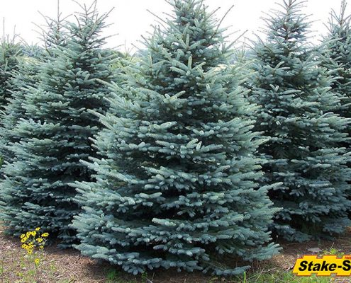 Blue Spruce Zone 2 Trees