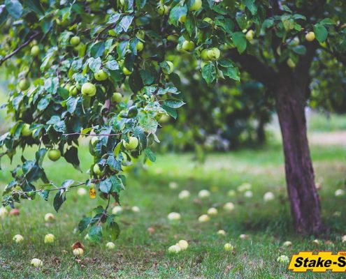 Fruit Trees | Granny Smith Apple