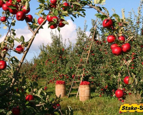 Fruit Trees | Apple Orchard