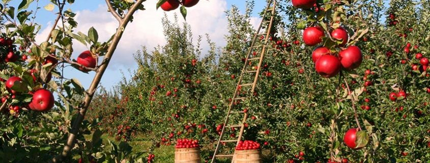 Fruit Trees Apple Orchard