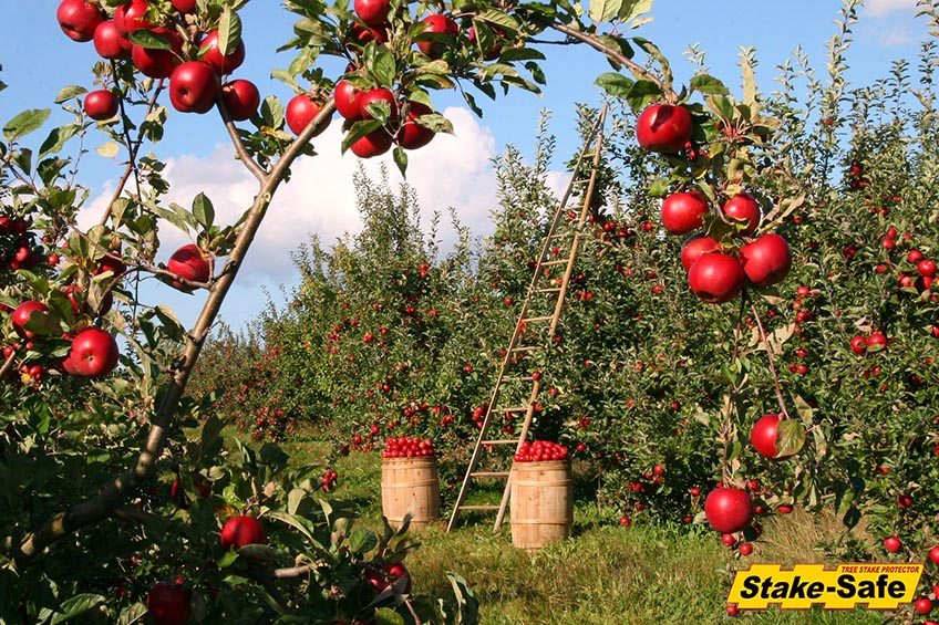 Fruit Trees That Thrive In Planting Zones 3 4 And Bear Fruit