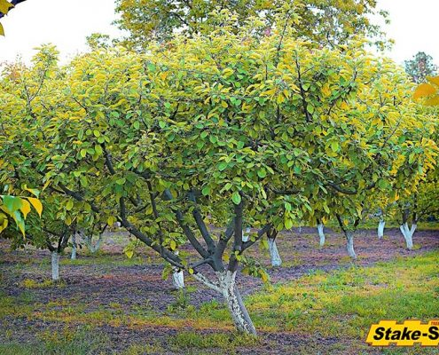 Fruit Trees | Apricot Tree