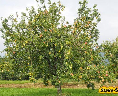 Fruit Trees | Gala Apple Tree