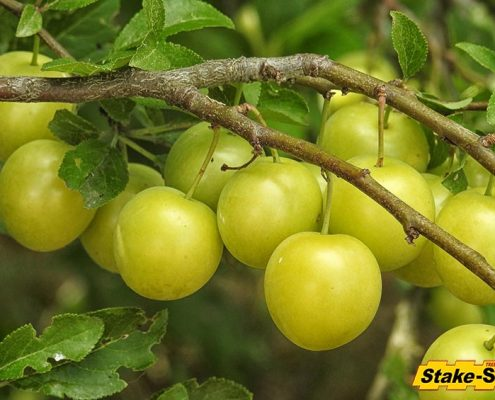 Fruit Trees | Mirabelle Plum