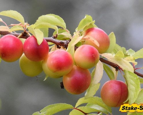 Fruit Trees | Cherry Plum Tree